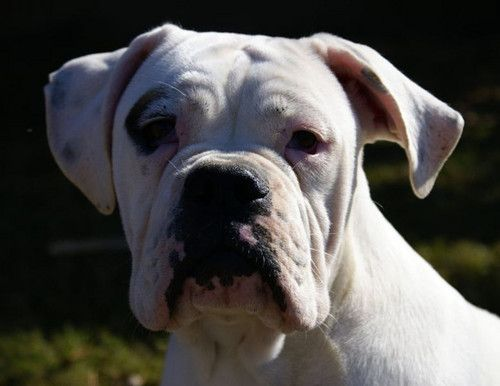 English Bulldog X Boxer Valley Bulldog Boxer Bulldog Bulldog