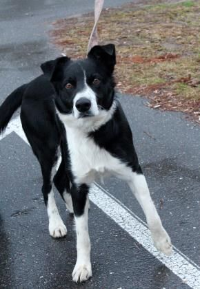 2 10 Petango Com Meet Cody A 5 Years Border Collie Mix Available For Adoption In Hattiesburg Ms Contact Pet Adoption Border Collie Border Collie Mix