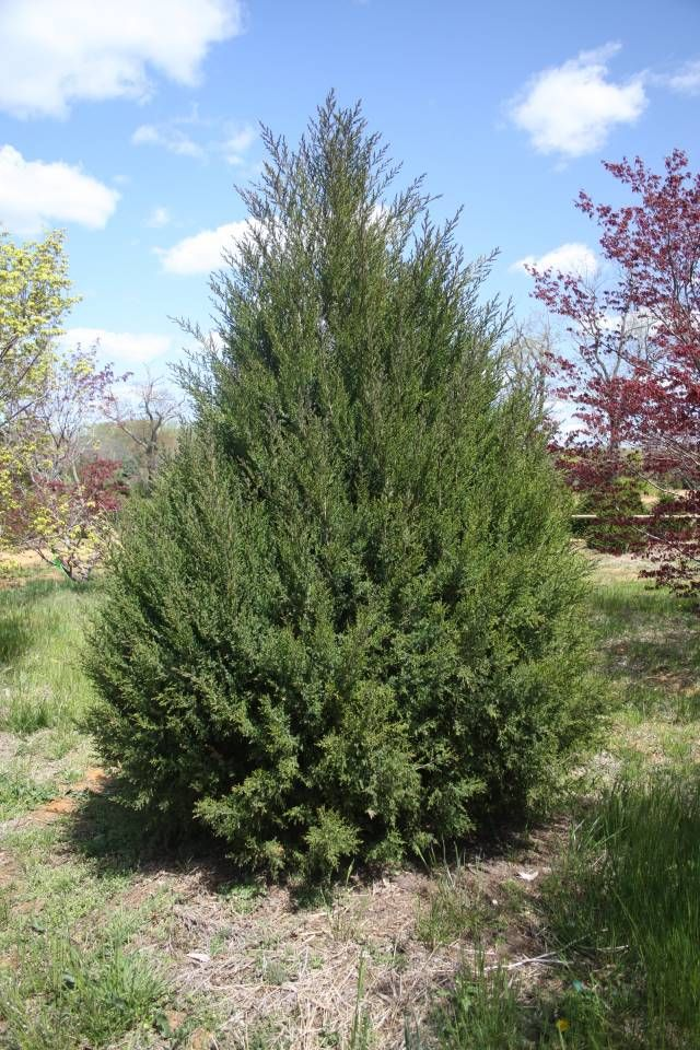 Juniperus Virginiana Or Red Cedar Evergreen Native To Eastern North America With A Broadly Conical Sometimes Columnar Dense C Evergreen Trees Evergreen Tree