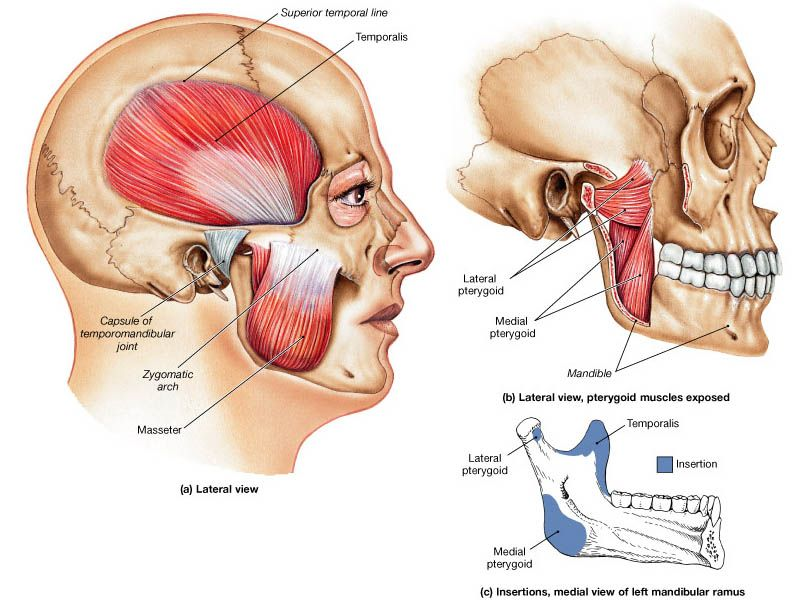 muscles-of-mastication.jpg (800×600) - V3 innerv; lateral pterygoid ...
