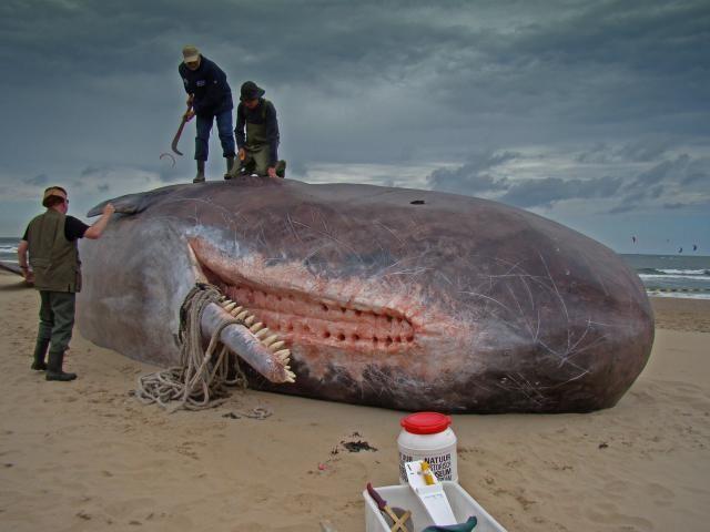 Leviathan prehistoric whale