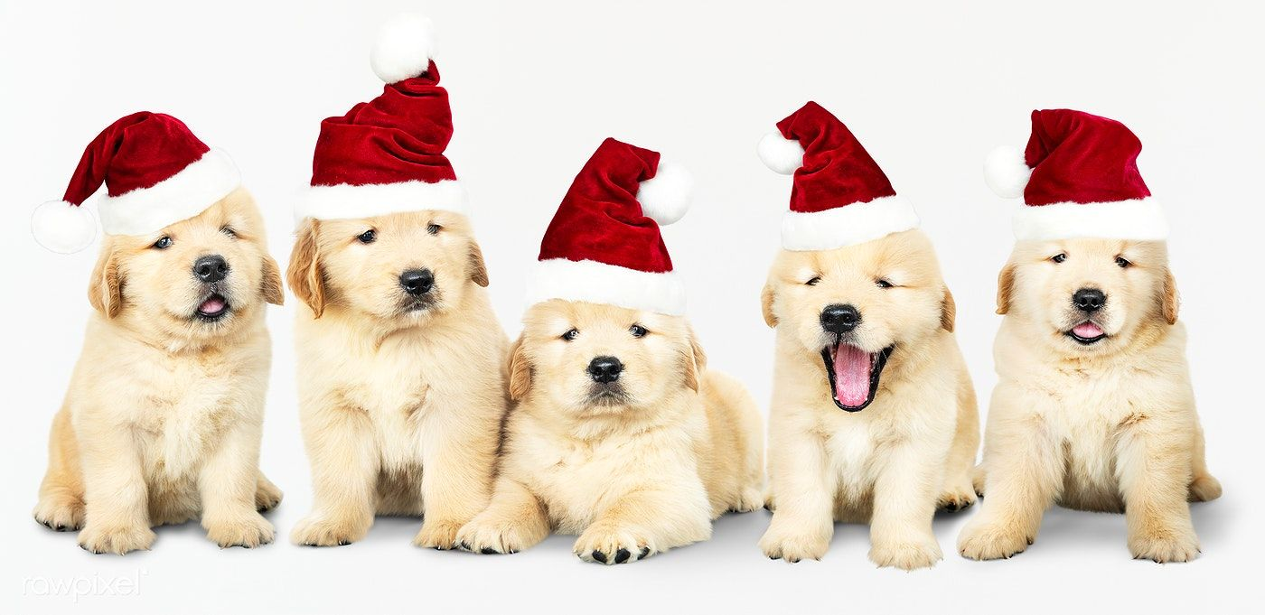 Download Premium Image Of Group Of Five Golden Retriever Wearing Santa