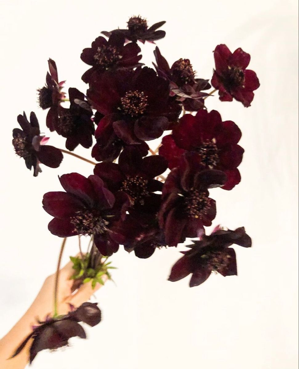 Shop For Chocolate Cosmos Flower In 2020 Chocolate Cosmos Flower Chocolate Cosmos Flowers