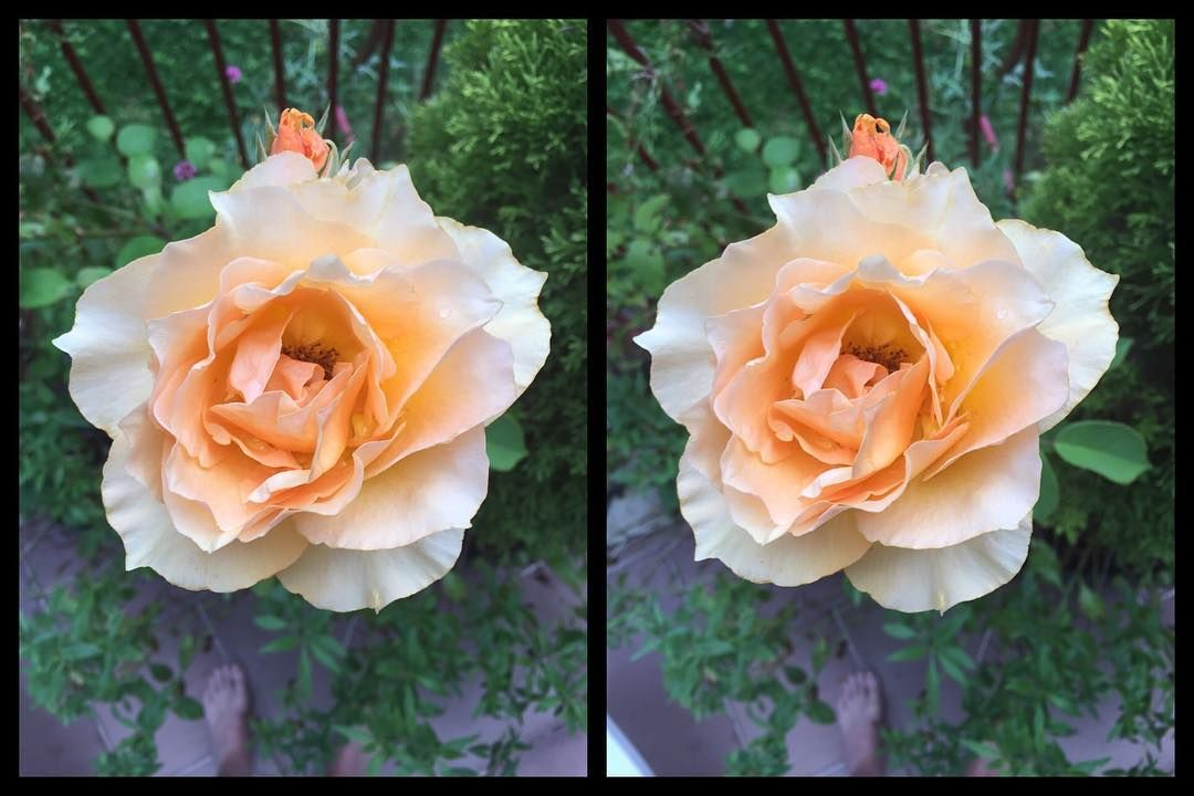 The Rose - 3D Stereoscopic Photography.