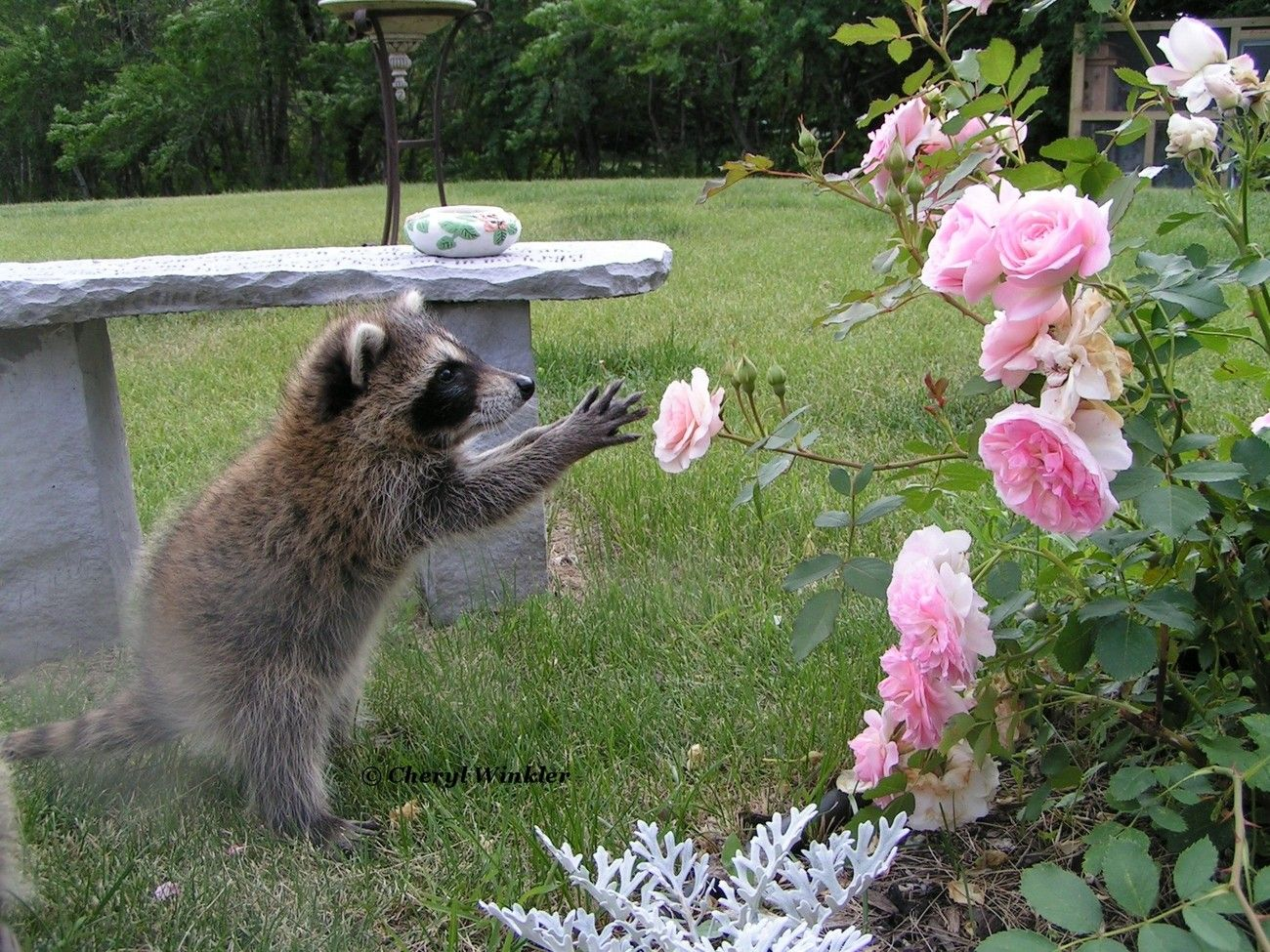 Raccoon Baby explores Roses