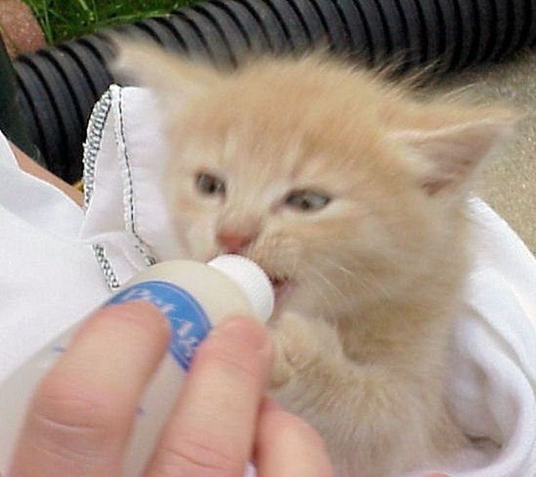 How to Mix Formula for and Bottle Feed a Newborn Kitten