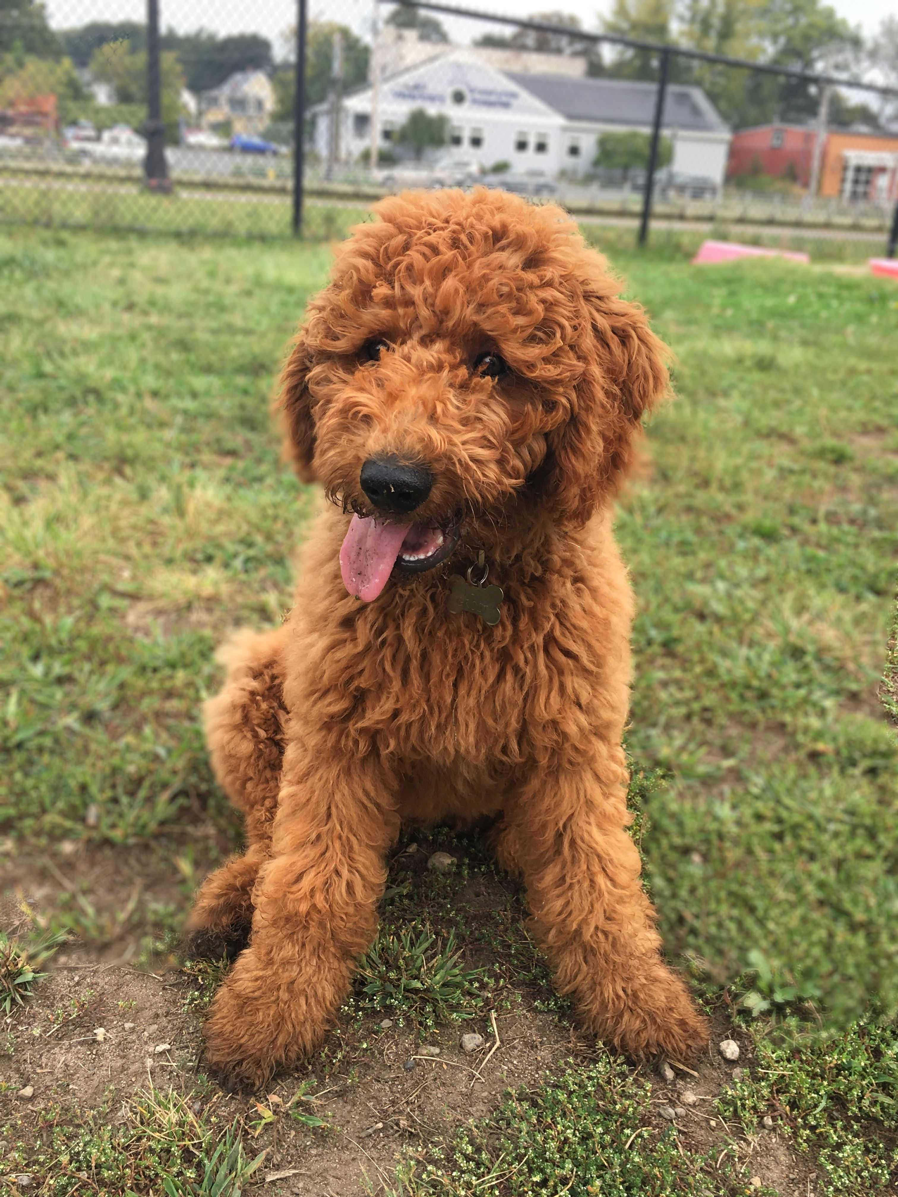 Playing At The Park Redgoldendoodle Goldendoodles