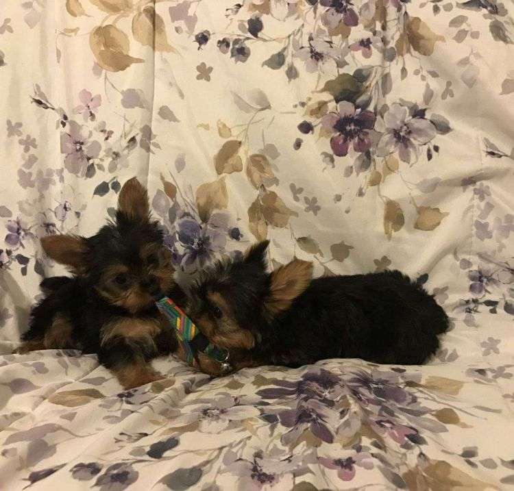 Akc Female Yorkshire Terrier Puppies Puppies Will Come With Up To