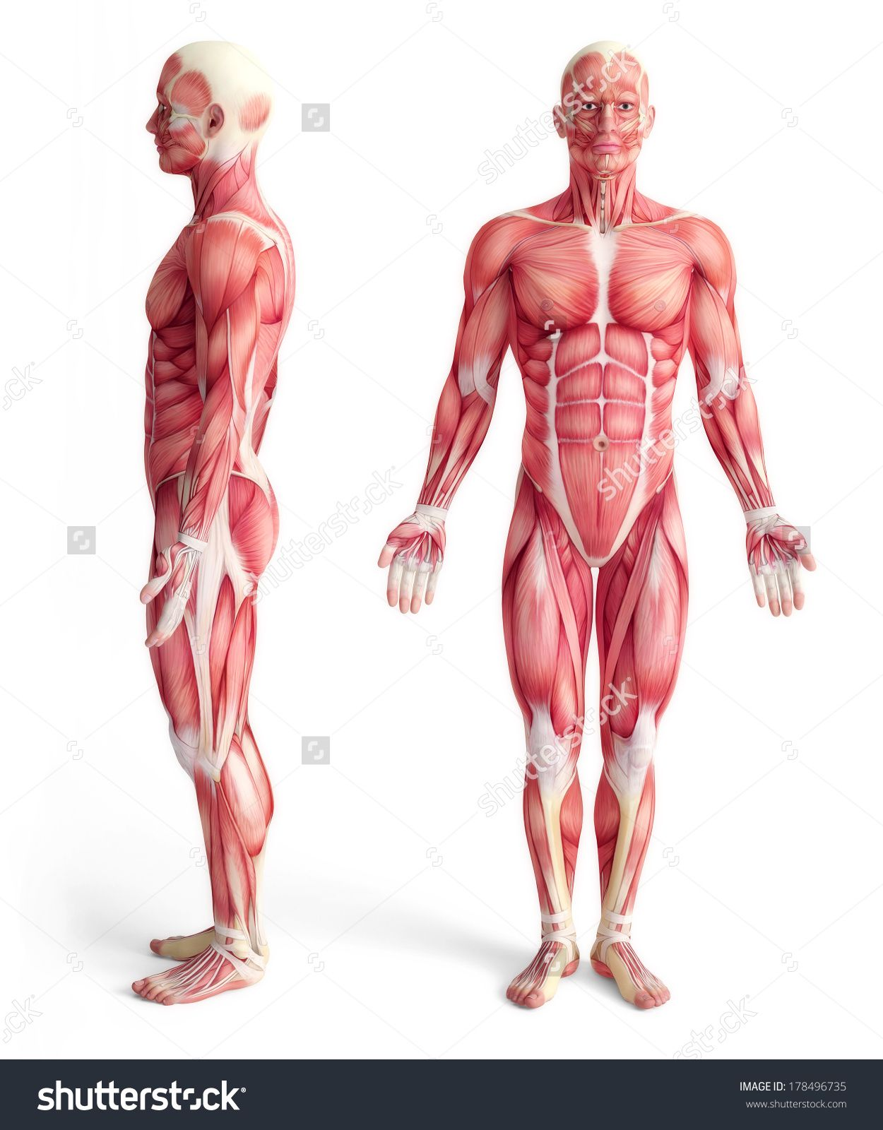 muscular front side - Cerca con Google   ANATOMY STUDIES for Artists ...
