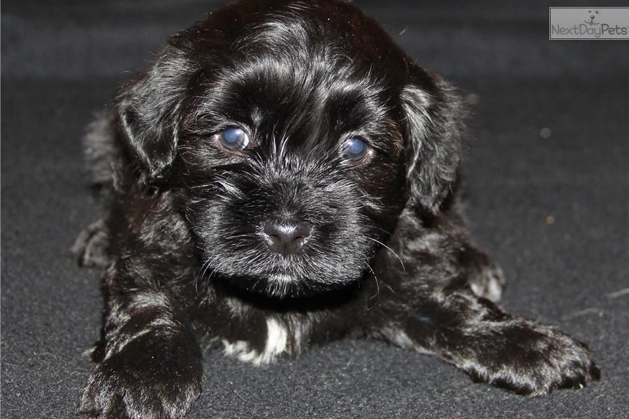 Akc Registered Male Havanese Ozzie Havanese Puppies For Sale Havanese Puppies