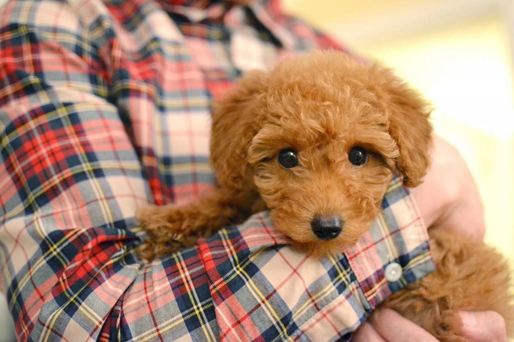 miniature poodle puppies for sale uk