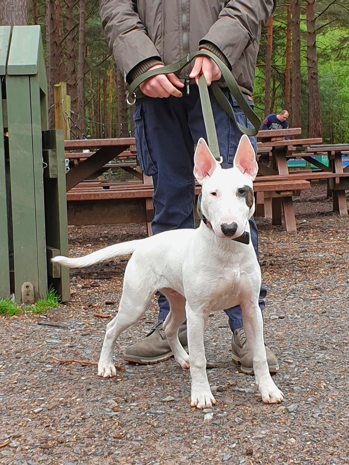 6 Month Old Working Type Bullterrier Pup Pup Dogs Animals