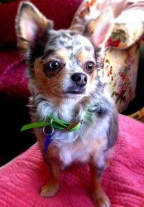 Dog Shaming Chihuahua Love Foster Dog Dog Breath