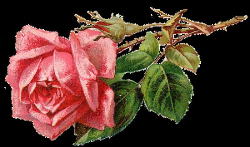 Vintage Pink Rose Png Free Image Vintage Roses Vintage Flowers Pink Rose Png