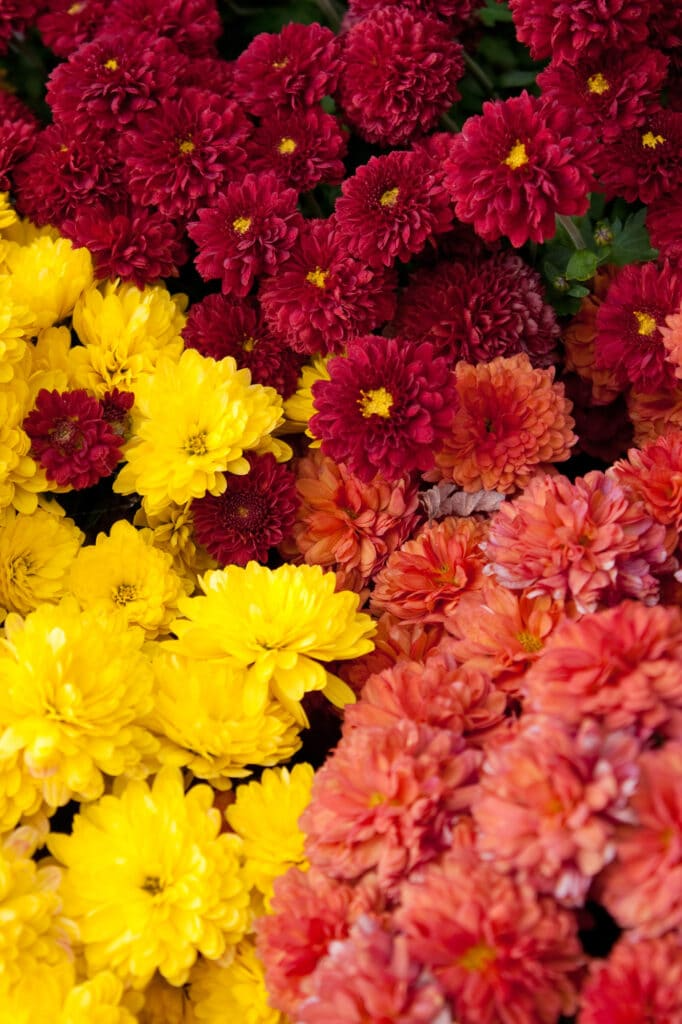 10 Colorful Perennials that Bloom in the Fall - Natalie Linda