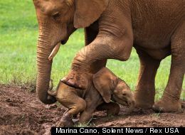 A MOTHER'S LOVE: Mama Elephant Rescues Baby Trapped in Mud (PHOTOS)