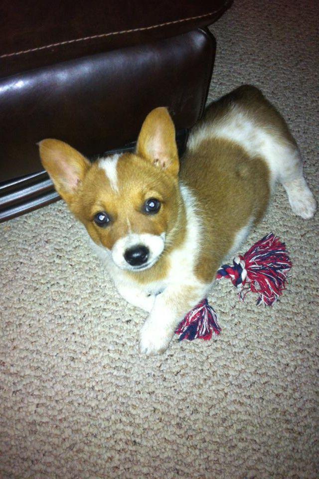 Cutest corgi puppy ever!
