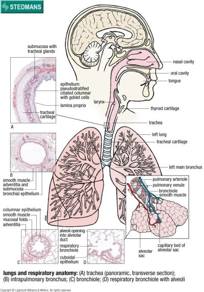 Lungs And Respiratory Anatomy Allenamento