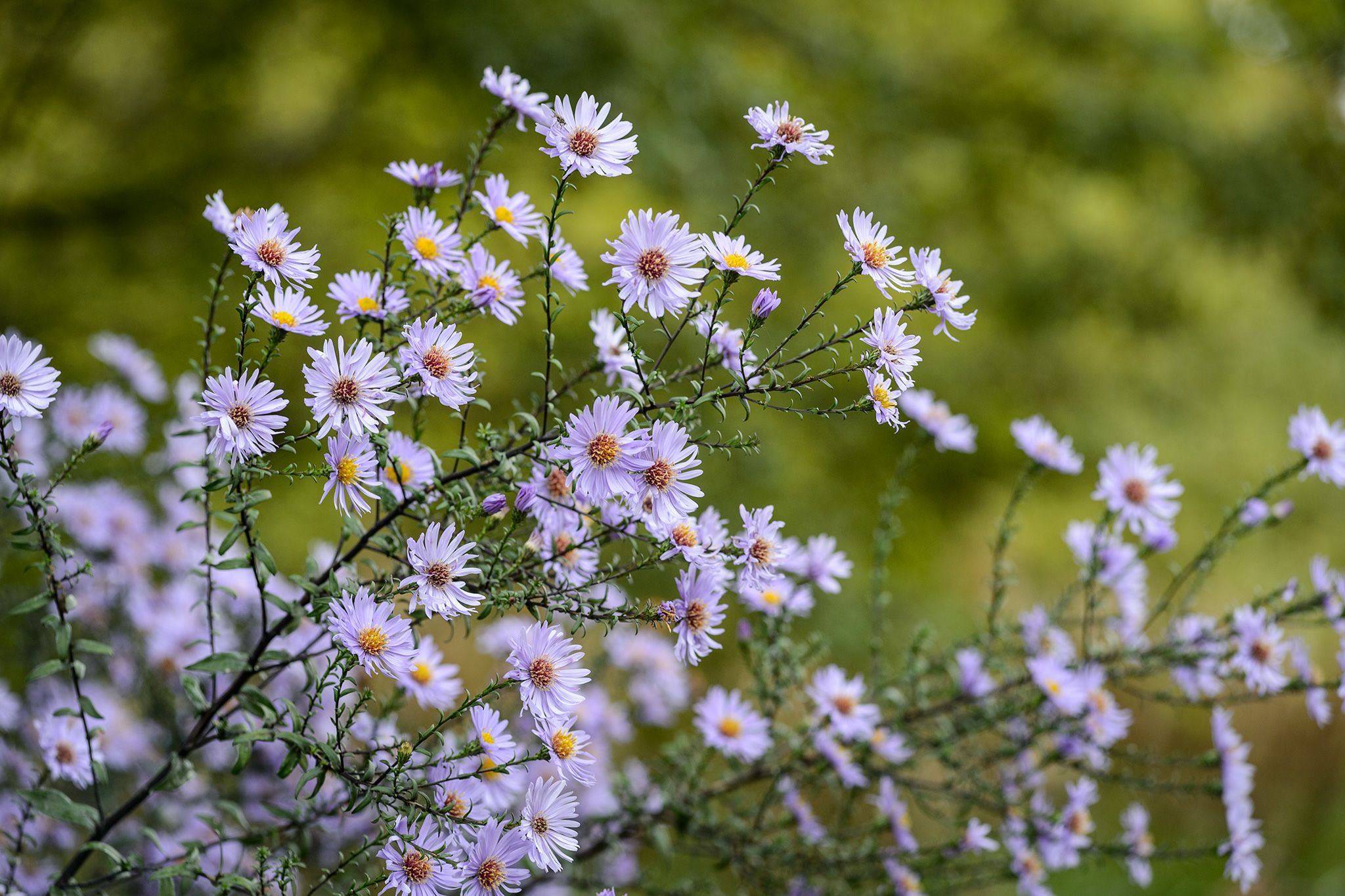 Image Result For Symphyotrichum Laeve Calliope Cottage Garden Plants How To Attract Birds Plants