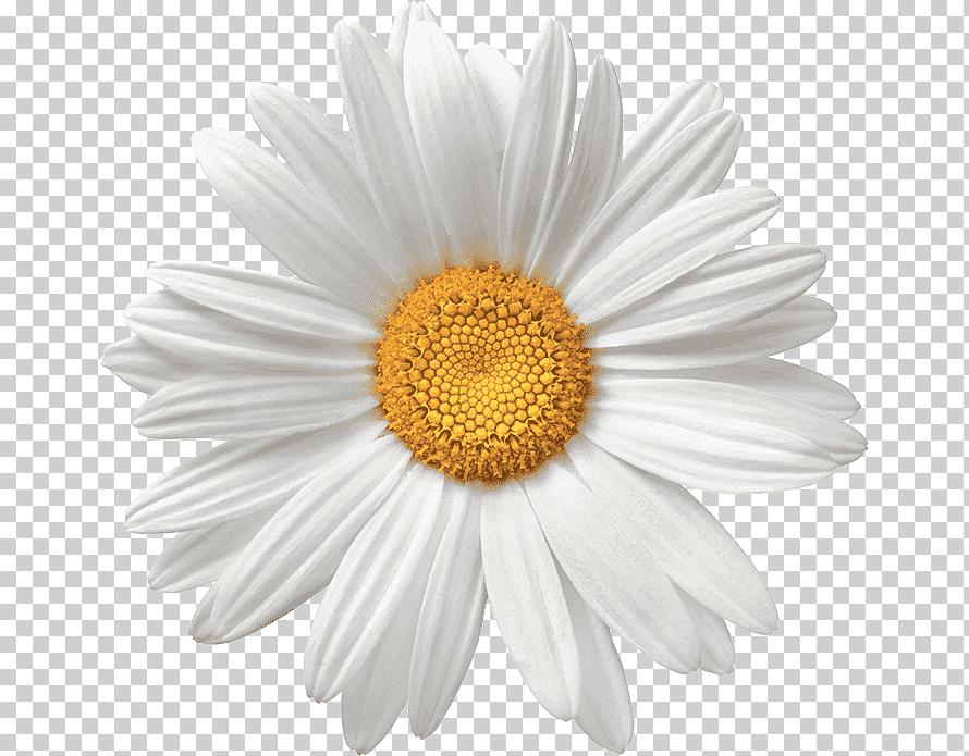 Common Daisy Flower White Graphy Daisy White Chamomile Desktop Wallpaper Png Poster Bunga Seni Konsep Ilustrasi