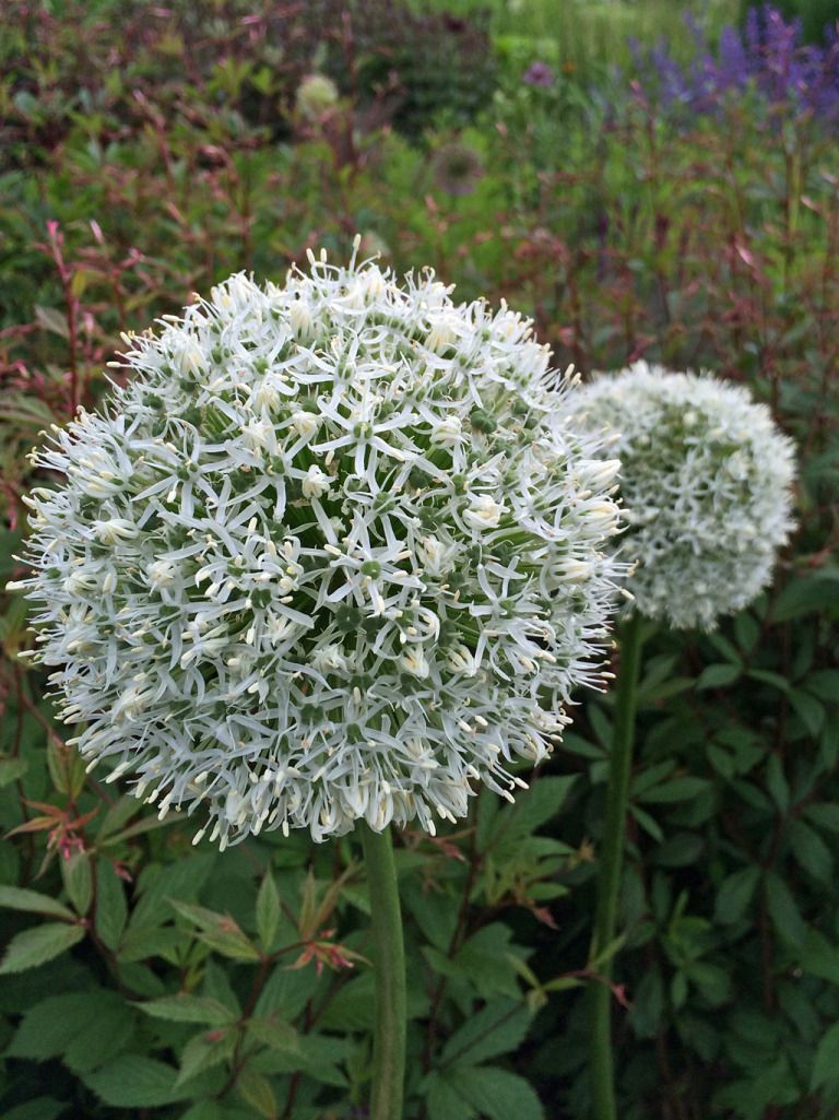 White Alliums At Harlow Carr Gardens Roses And Flowers Pinterest
