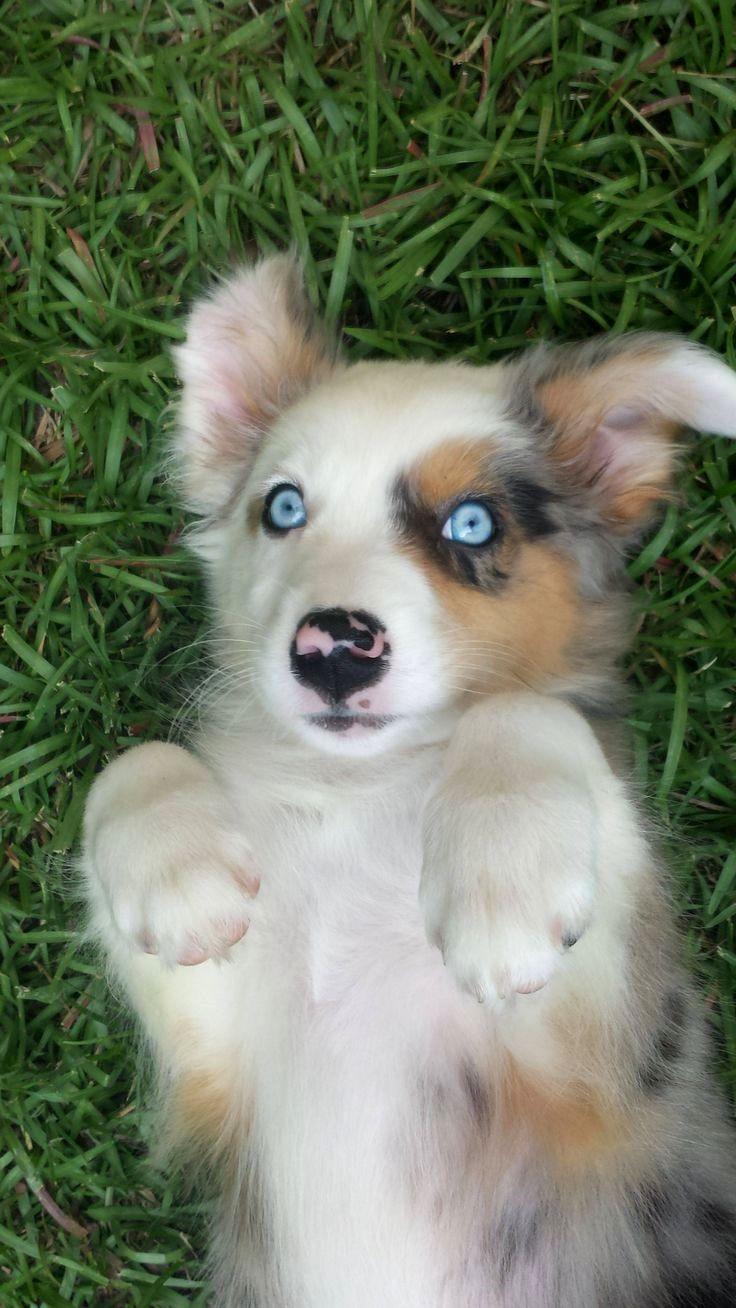 Pin by dog_life on Australian Shepherd Australian