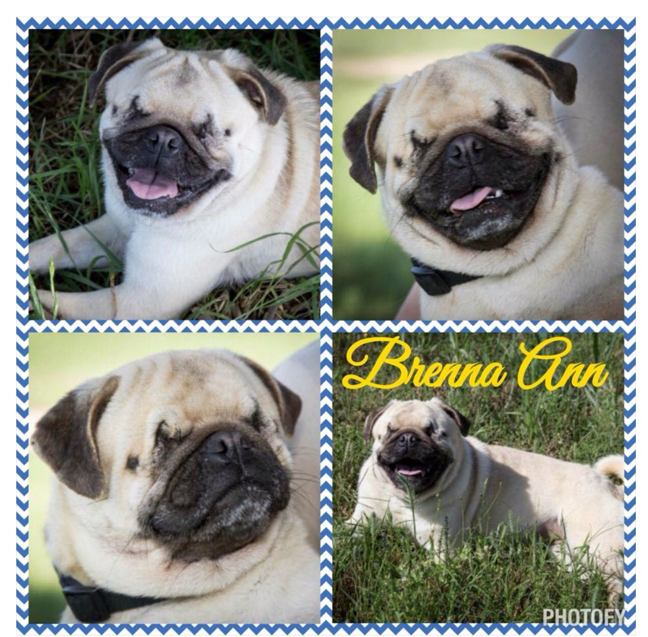 Dfw Pug Rescue Hi I M Brenna Ann And I Am A 1 Year Old Pug Girl