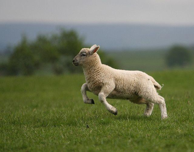 Leaping Lamb Sheep And Lamb Lamb Sheep