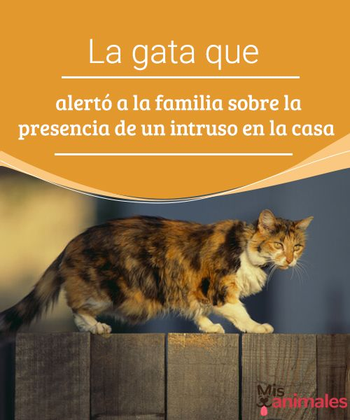 La gata que alertó a la familia sobre la presencia de un intruso en la casa  A pesar de que son muy amantes de los animales, los ingleses no suelen ser muy dados a tener gatos en casa. #gata #alerta #familia #curiosidades