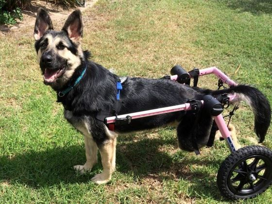 German Shepherd Severely Injured After Being Hit By A Vehicle And Left Alone Dog Adoption German Shepherd Dogs