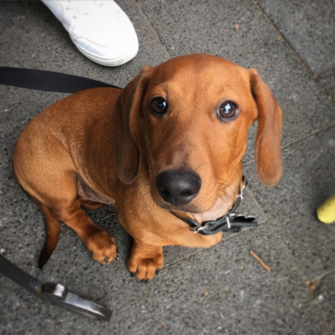 It S Mr Steal Your Girlfriend Dachshund Dachshundpuppy