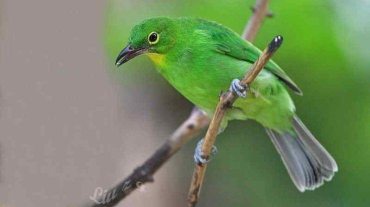 Download Suara Cucak Ijo Ngerol Panjang Mp3 Untuk Masteran Burung