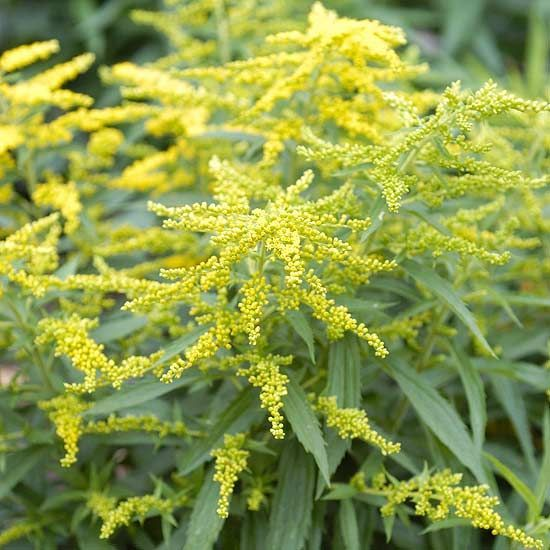Solidago crown of rays has spiky yellow blooms in late summer on solidago crown of rays has spiky yellow blooms in late summer on a tidy plant that stays under 2 feet tall it is well behaved spreading gradually to mightylinksfo Gallery
