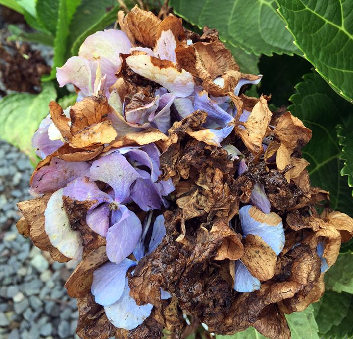 Hydrangea Flowers Turning Brown Planting Hydrangeas Hydrangea Flower Hydrangea Potted