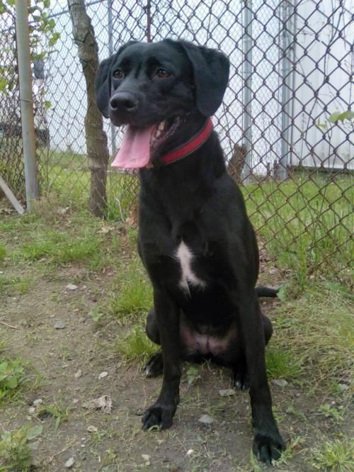 Meet Hibachi, an adoptable Labrador Retriever looking for a forever home. If you're looking for a new pet to adopt or want information on how to get involved with adoptable pets, Petfinder.com is a great resource.