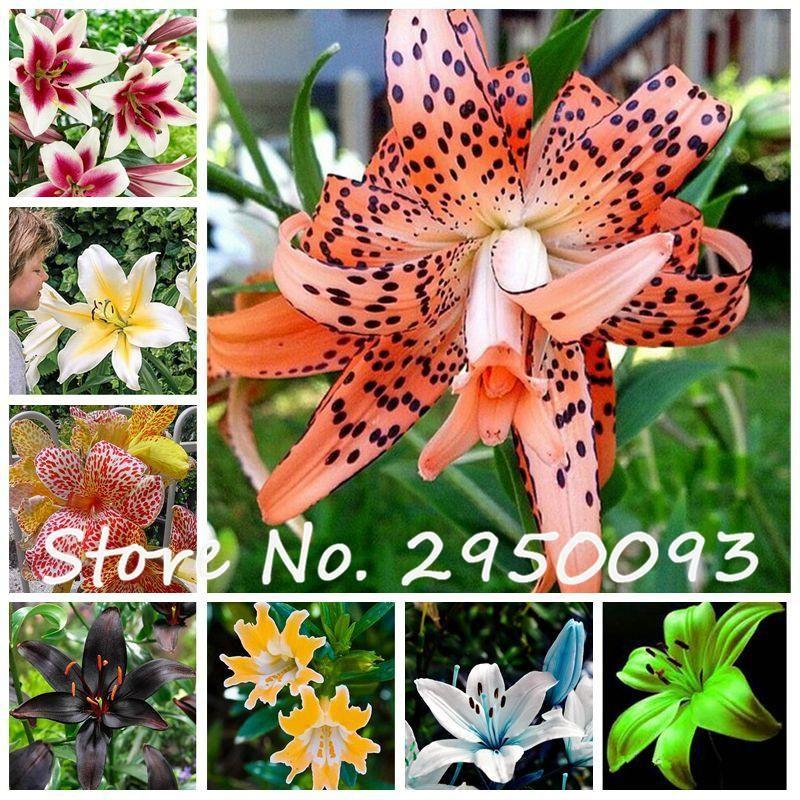 Lily Flower Bulbs Home Garden Bonsai Plant Roots Perennial Spectacular Decor