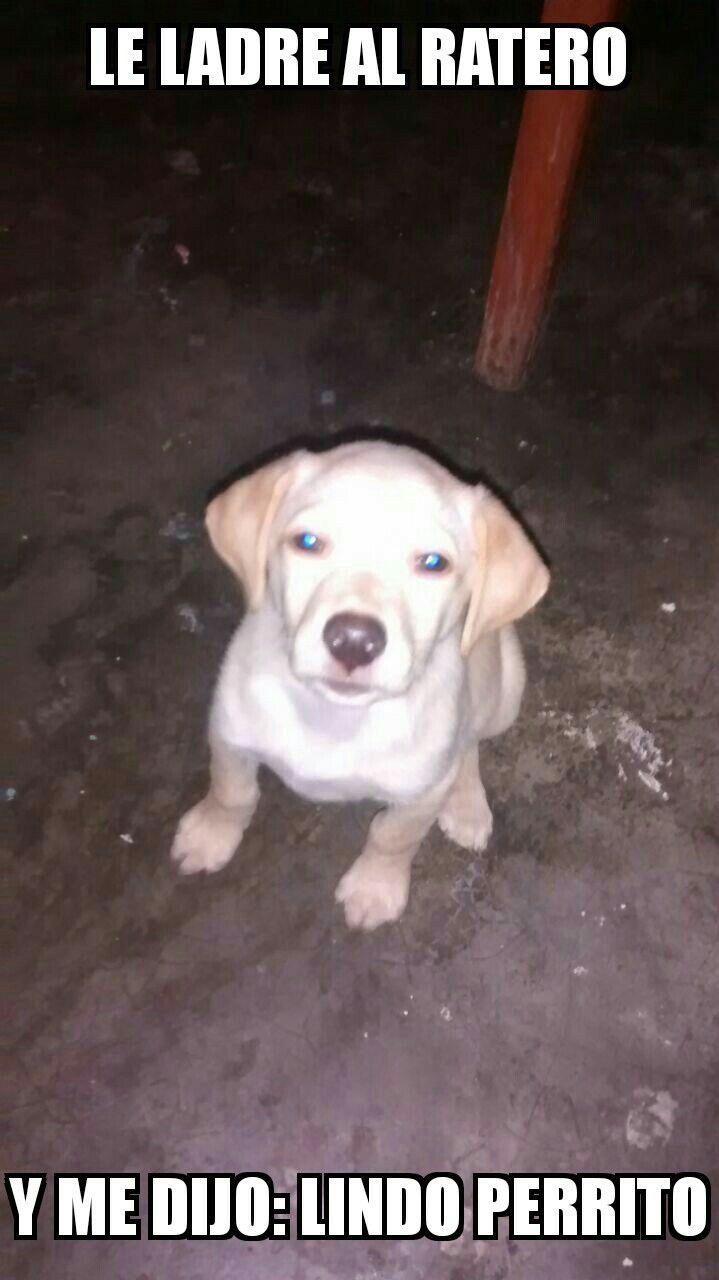 Pin By Kleyman Tantarico On Memes Labrador Retriever Labrador Retriever