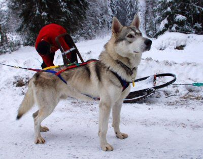 Tamaskan...  I LOVE this breed!!  Will Have One Eventually :)