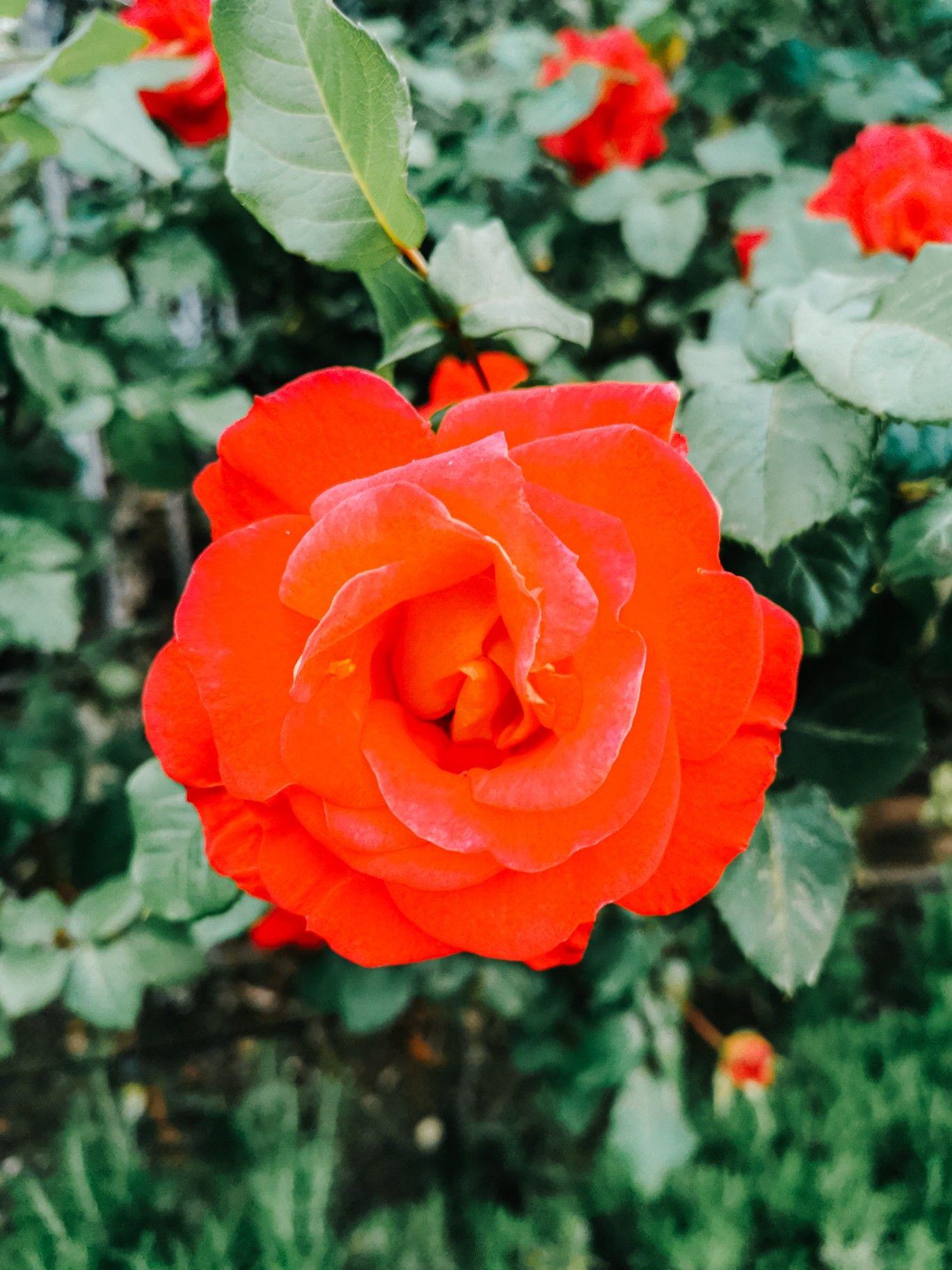 Цветок розы красный цвет красивые фотографии обои на ...  Обои на Телефон Цветы