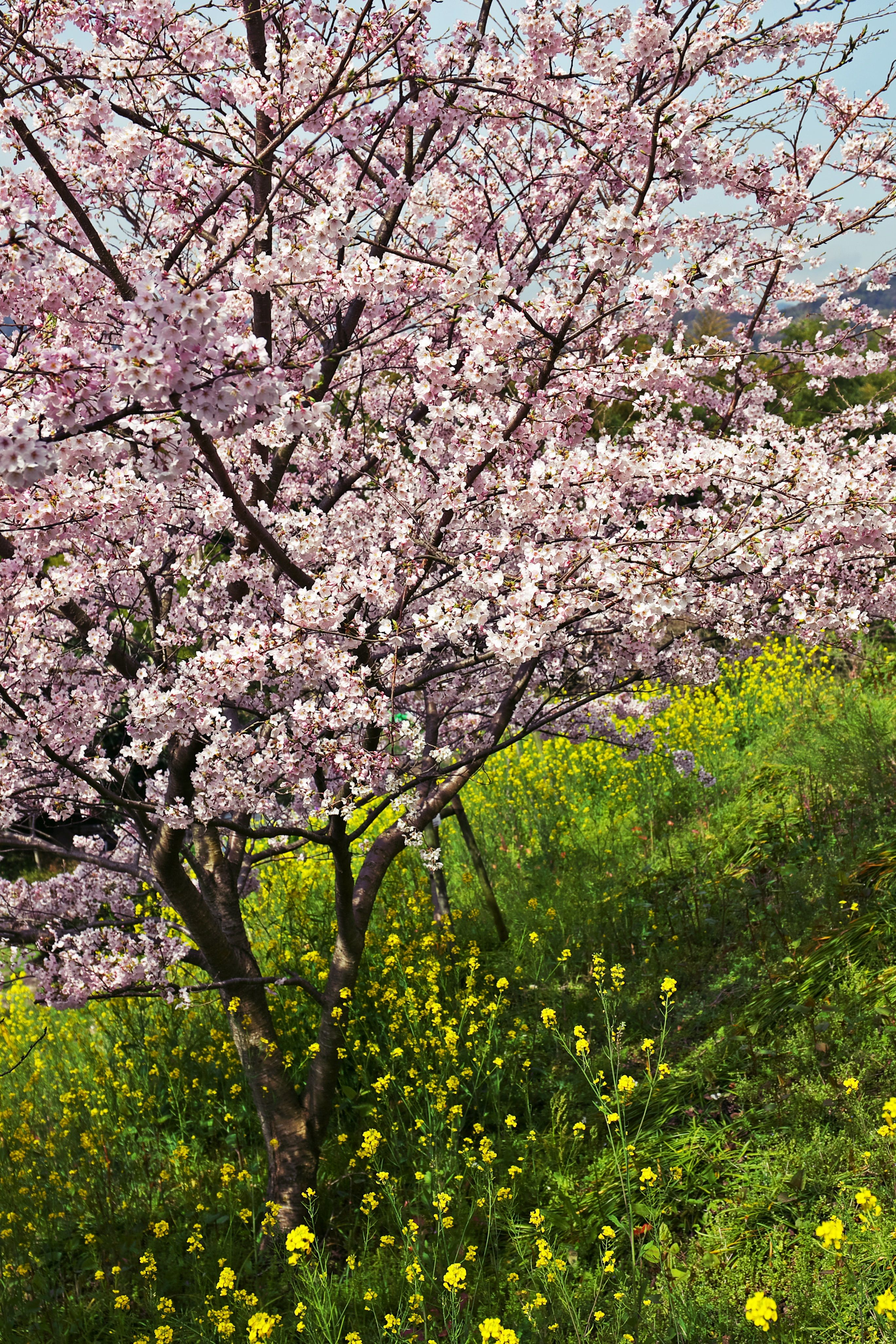 Cherry Blossom A Symbol Of The Beauty Of Spring In Japan Cherry Blossom Blossom Tree