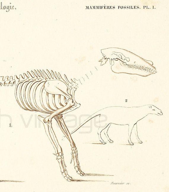 1861 Fossile Anaplotherium Gravure Sepia Ancienne Orbigny Original Paleontologie Prehistoire Collection Encadrement Edition Francaise Antique Prints Scientific Drawing Fossils