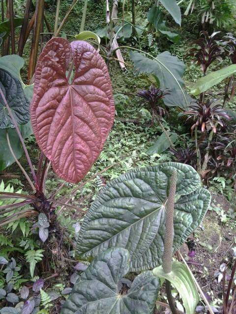 Anthurium Luxurians Hawaii Tanaman Hias Daun Tanaman Bunga