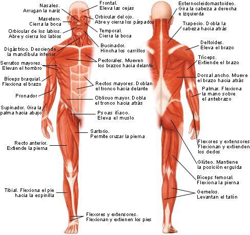 Músculs del cos humà. | Musculos del cuerpo | Pinterest | Musculos ...