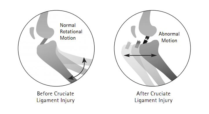 how to know if your dog has a torn acl cruciate diagram