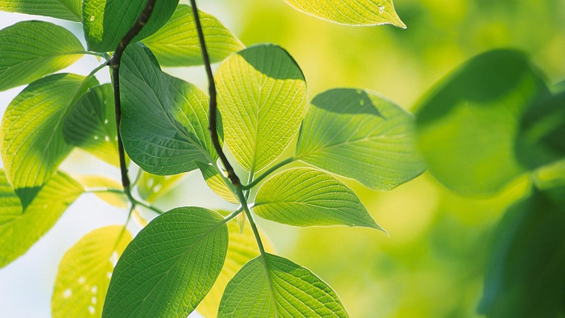 Green Leaves wallpaper wallpaper free download × Leave