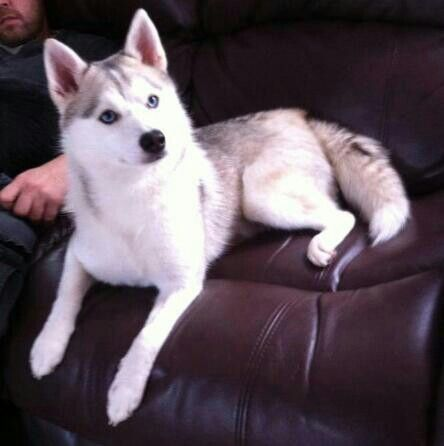 White Pomsky Training Your Dog Puppies And Kitties Your Dog
