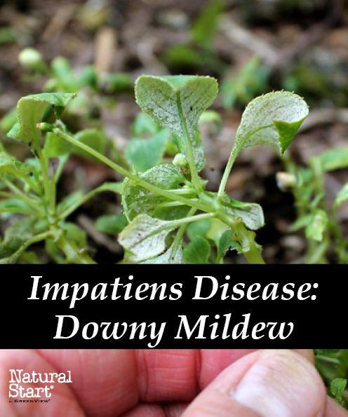 impatiens disease