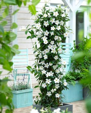 Mandevilla sun parasol original white pool and yard pinterest mandevilla clusters of white trumpet shaped flowers in summer and autumn climbing plant suitable for pots in full sun or part shade mightylinksfo Gallery
