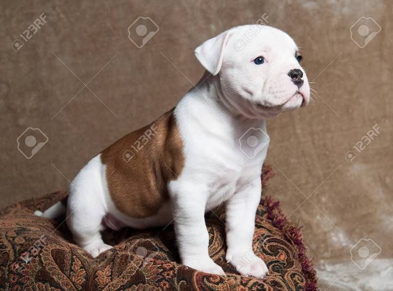 American Bulldog For Sale Waz Zap What Sapp 60172415563 For Sale