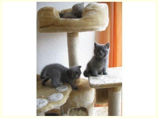 Britisch Kurzhaar Katzen BKH Kitten Britisch kurzhaar